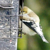 Puffy Goldfinch