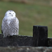 First Snowy Owl sighting of the season