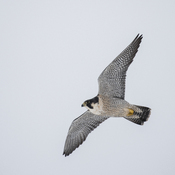 Peregrine Falcon flyby