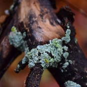 Lichen any one....