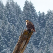 Red tail hawk winter scene
