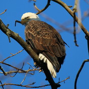 Grand River Female Bald Eagle