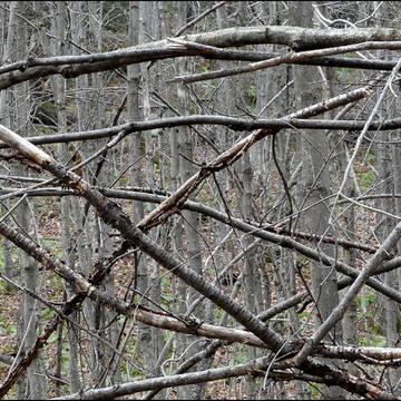 Tangle of branches, Elliot Lake.