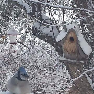 bluejay @ d backyard
