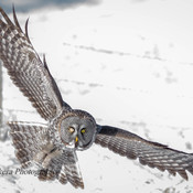 great grey owl hunting voles!