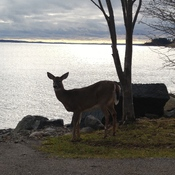 Deer taking in the view at the point