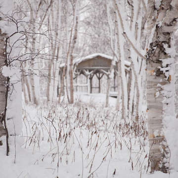 Through the birch