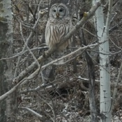 Barred Owl in Edmonton