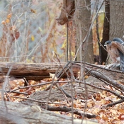 Cooper's Hawk in the woods