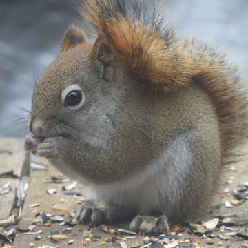 Perky red squirrel