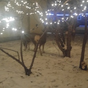 deer in the xmas lights.