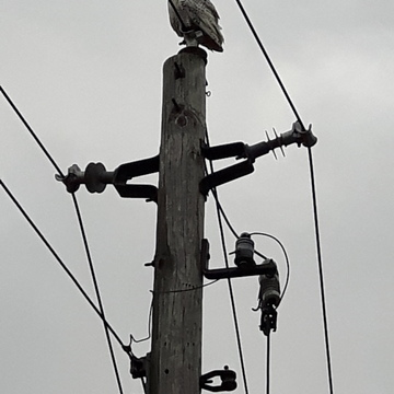 Snowy owl in Walkerton