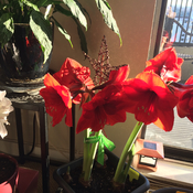 Blooming Amaryllis in the cold winter