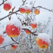 Ice Apples