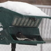 Junco enjoying a treat