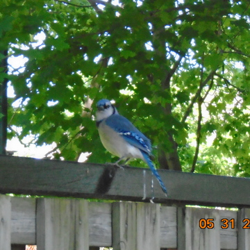 Beautiful - Blue Jay