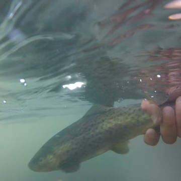 Bow river Alberta. Brown Trout