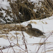 Duck in the snow.