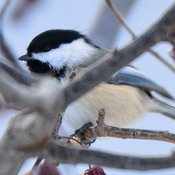 Chickadee in winter