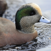Hello Mr Wigeon
