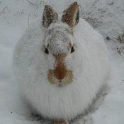 Snow White Rabbit