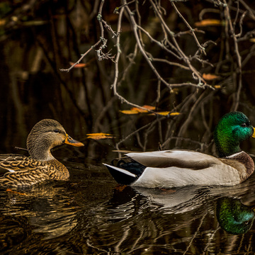 Mallards in Autumn
