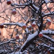 Snow apples...