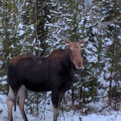 Moose arrival from mountains.