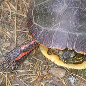 healthy painted turtle