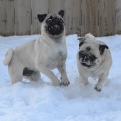 Pugs Playing In The Snow