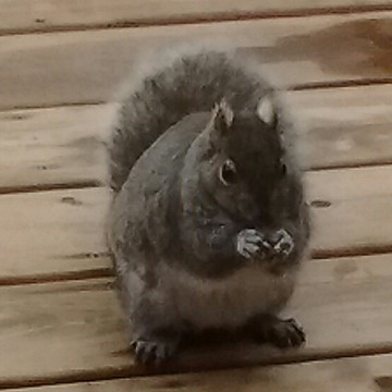 deck squirrel