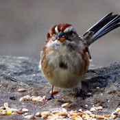 Cute Tree Sparrow