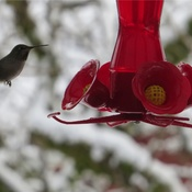 Humming Bird ....and Snow