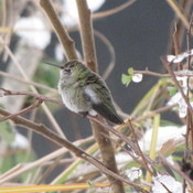 Humming Bird - In Vancouver - Dec. 06