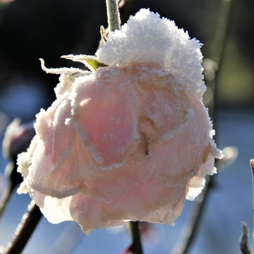 The snow frosting on a rose