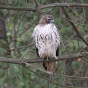 The Hunter; Red Tail Hawk