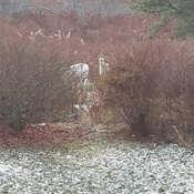 2 Albino Deer In The Backyard