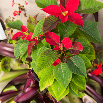 Poinsettia comes into bloom OUTSIDE in St. Catharines ON