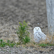 Snowy owls return