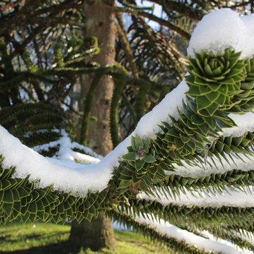 Snow on the monkey puzzle tree
