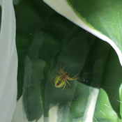 Spider in Hosta