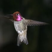Male Anna`s Hummingbird.