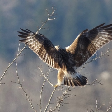 eagle and rough-legged hawk