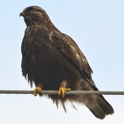 dark morph rough legged hawk.