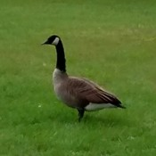 Beautiful Canadian Goose
