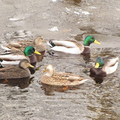 Mallard Ducks enjoying the weather