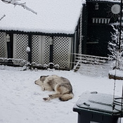 Snow dog day in Port Moody