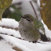 Anna Hummingbird in the new falling snow in Vancouver - Dec. 09, 2016