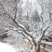 snow and lilac tree
