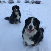 Spirit Gate Farm snow dogs!